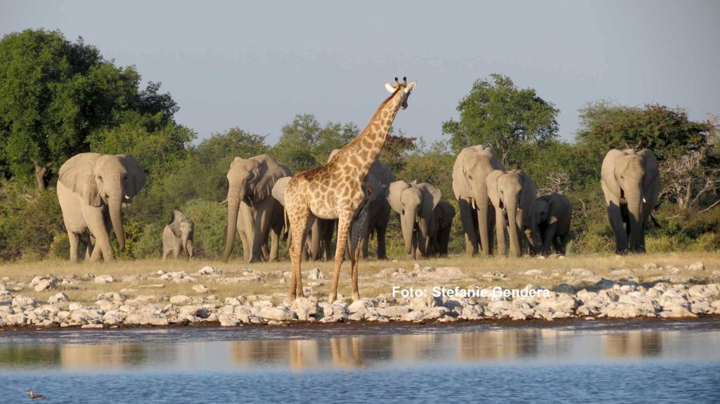 Die Giraffe muss am Wasser gleich den Elefanten weichen / Foto: Stefanie Gendera