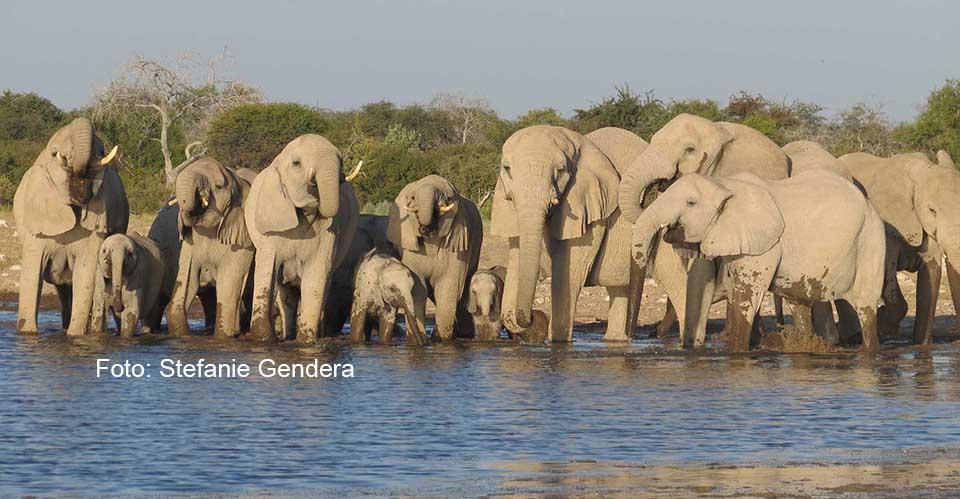 Elefanten beim Trinken / Foto: Stefanie Gendera