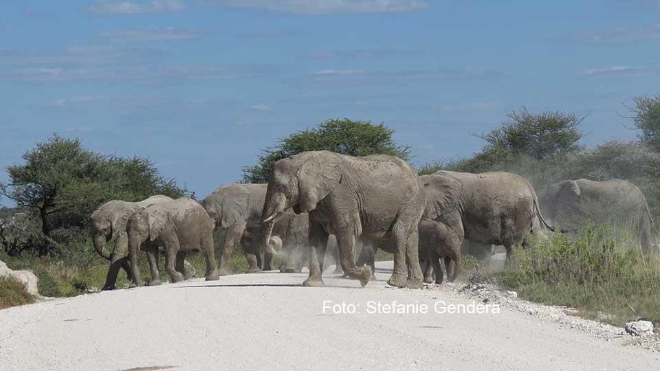 Elefanten-Herde / Foto: Stefanie Gendera