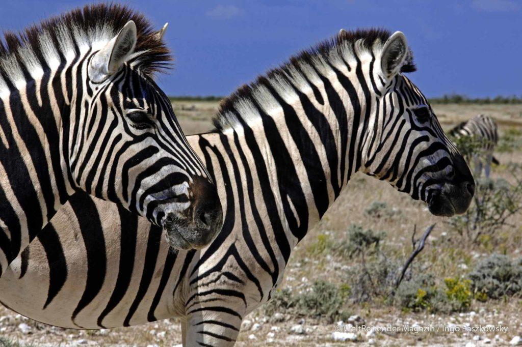 Im April verfügen die natürlichen Wasserlöcher im Etoscha-Nationalpark über genügend Wasser, so dass sogar größere Steppenzebra-Herden ihren Durst stillen können. Das Steppenzebra (Equus quagga) oder Pferdezebra ist ein Zebra aus der Familie der Pferde (Equidae) und gehört zur Ordnung der Unpaarhufer (Perissodactyla). / Foto: Ingo Paszkowsky
