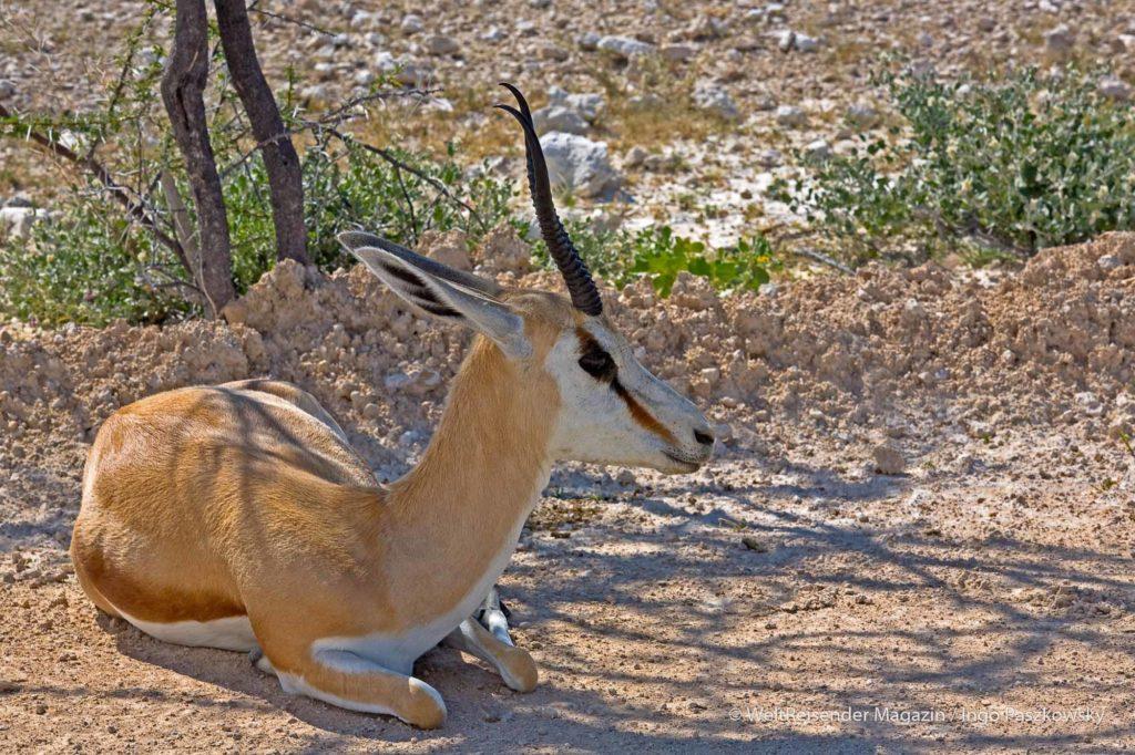 Ein Springbock ruht aus und sucht dabei Schutz vor der Sonne. Der Springbock (Antidorcas marsupialis) ist eine afrikanische Antilope aus der Gruppe der Gazellenartigen (Antilopinae). Das Habitat der Springböcke ist die offene Savanne. Etosha National Park / Foto: Ingo Paszkowsky