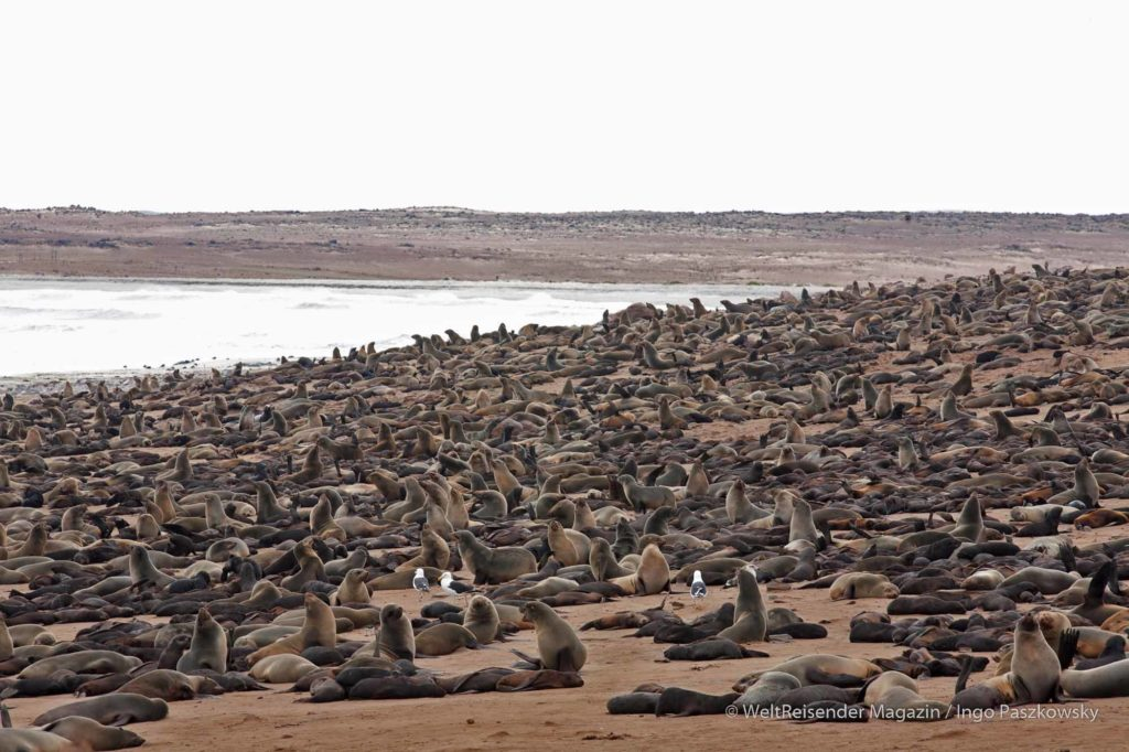 Robbenkolonie am Cape Cross mit bis zu 250.000 Robben. Dabei handelt es sich um den Südafrikanischen Seebär (Arctocephalus pusillus), eine Ohrenrobbenart. Die Jungtiere besitzen ein dunkles Fell. Sie schlafen häufig so fest, dass sie erst erwachen, wenn man sie aus nächster Nähe anspricht. Dann schrecken sie auf und flüchten mit Geschrei. / Foto: Ingo Paszkowsky