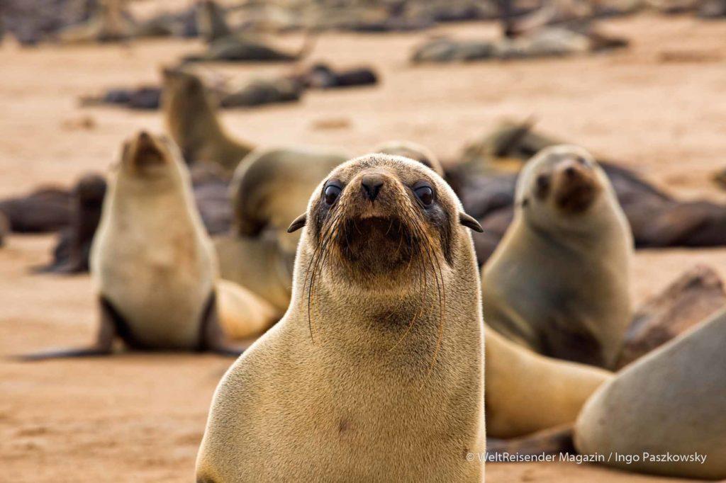 Robbenkolonie am Cape Cross - da ist jemand neugierig / Foto: Ingo Paszkowsky