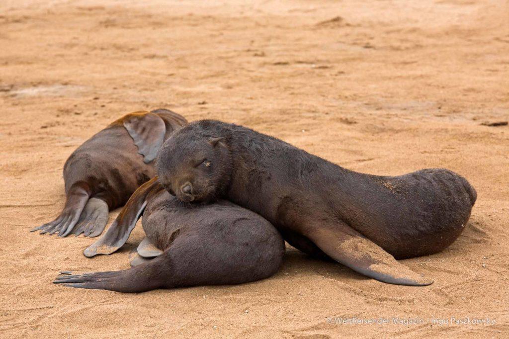 Die Jungtiere besitzen ein dunkles Fell. Sie schlafen häufig so fest, dass sie erst erwachen, wenn man sie aus nächster Nähe anspricht. Dann schrecken sie auf und flüchten mit Geschrei. / Foto: Ingo Paszkowsky
