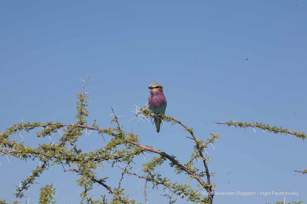 Die Gabelracke bzw. Gabelrake (Coracias caudatus) / Foto: Ingo Paszkowsky