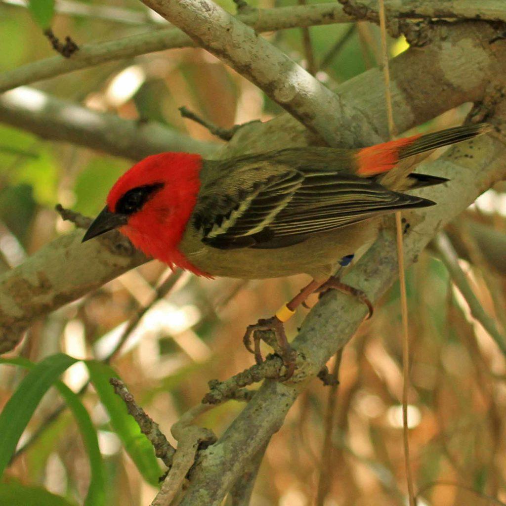 Der Mauritiusweber (Mauritius Fody, Foudia rubra) wird auf der Roten Liste der gefährdeten Arten der IUCN geführt / Foto: © Jaques de Spéville
