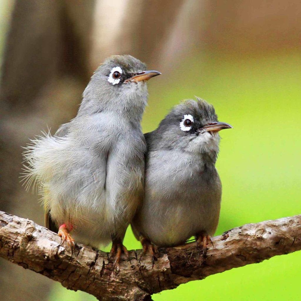 Mauritius-Brillenvogel (Mauritius Olive White-eye, Zosterops chloronothos) gehört zu den sehr seltenen Vögeln und ist vom Aussterben bedroht / Foto: © Jaques de Spéville