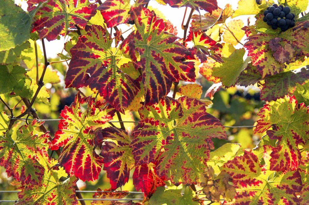 Bourgogne-Franche-Comté ist eine wunderbare Weinregion / Foto: Alain DOIRE / Bourgogne-Franche-Comté Tourisme