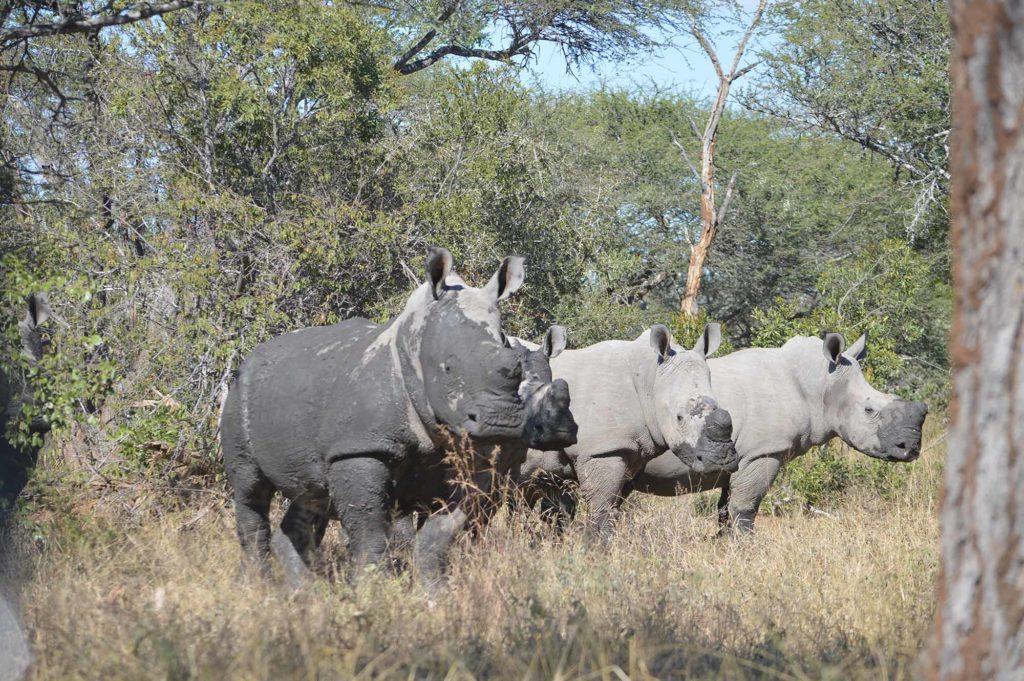 In den letzten 10 Jahren ist die Gesamtpopulation an Nashörnern im Krügerpark um 66 bis 70 Prozent zurückgegangen / Foto: pixabay / sambadeedance