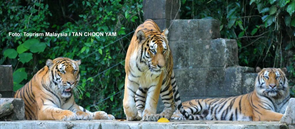 Malaysia-Tiger im Freizeitpark LOST WORLD OF TAMBUN / Foto: Tourism Malaysia / TAN CHOON YAM