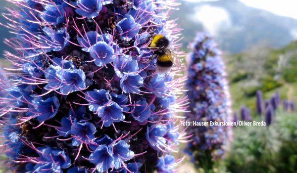 """Nicht nur bei Hummeln beliebt – der blaublütige """"Stolz von Madeira"""" ist eine endemische Pflanze und begegnet Hauser-Reisenden auf der Altantikinsel häufig. / Bildnachweis: Hauser Exkursionen/Oliver Breda"""